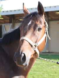 Marshall (TB): (Musical Chairs x Miss Katie C by Deputy Minister); born 2010; 16 hands; dark bay